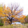 Oak tree in front of river — Stock Photo #13556219
