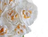 White daffodils on white background — Stock Photo