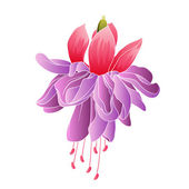 Fuchsia flower isolated — Stok Vektör