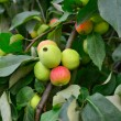 Green and red apple on branch — Stock Photo #13995735