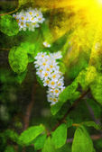Branch and blossom of bird cherry — Stockfoto