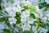 Apple tree blossom — 图库照片