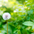 Single dandelion in greens — Stock Photo