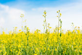 Yellow wild flowers on the summer field — Stock Photo