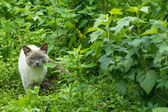 Portrait of siam cat hunting in green garden — Stock Photo