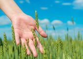 Hand in green agricultural field — Stock Photo