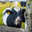 Cow on a summer pasture — Stock Photo