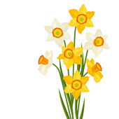Bouquet of flowers narcissus on white background. — Vector de stock