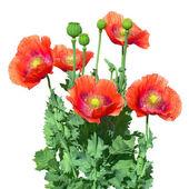 Opium poppy. Papaver somniferum. — Stock Photo