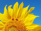 Sunflower and ladybugs. — Stock Photo