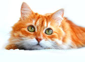 The portrait of red cat, isolated on a white — Stock Photo