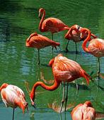 Florida rosa flamingos — Stockfoto