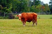 Vacker brun ko på en äng — Stockfoto
