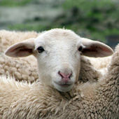Close up of a lamb, sheep, huddled in a herd. — Stock Photo