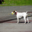 Dog pick up tennis ball — Stock Photo #22262825