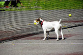 Dog pick up a tennis ball — Stock Photo