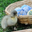 Stock Photo: Freshly hatched duck
