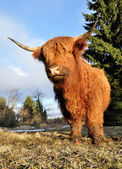 Red bison — Stock Photo