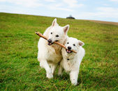 Two running dogs — Stock Photo