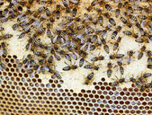 Bees in the hive — Foto Stock