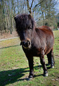Little black pony — Stock Photo