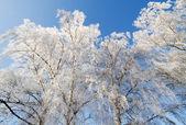 Trees in winter. — ストック写真