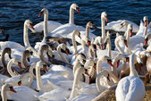 Swan crowd. — Stock Photo
