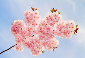 Lovely cherry-flowers in spring. — Stock Photo