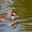 Great crested grebe. Podiceps cristatus. - Stock Photo