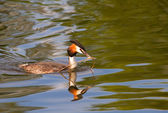 Great crested grebe. Podiceps cristatus. — Stock Photo