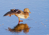 Female mallard duck. — Stock Photo