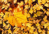 Yellow leaves. — Stock Photo