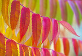 Staghorn sumac in vibrant autumn colours. — Stock Photo