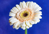 Gerbera flower. — Stock Photo