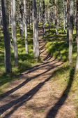 Trail through pine forest. — Stock Photo