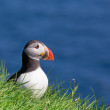 Puffin Fratercula Arctica — Stock Photo