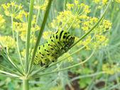 Caterpillar eateth dill — Stock Photo