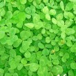Green fresh clover field — Stock Photo #12395905