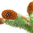 Sprigs coniferous tree with cones — Stock Photo