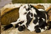 little goat. — Stock Photo