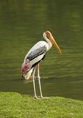 Painted Stork bird. — Stockfoto