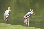 Painted Stork bird. — Stock Photo