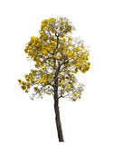 Silver trumpet tree isolated  — Stock Photo