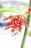 Red betel nut on palm tree — ストック写真