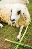 Sheep — Foto de Stock