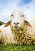 Close up of a sheep — Stock Photo