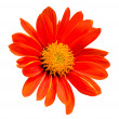 Stock Photo: Red gerbera