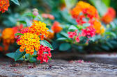 Lantana flower on wood ground — Stock Photo