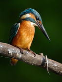 Kingfisher (Alcedo atthis) — Stock Photo