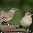 图库照片: Three Juvenile Northern Wheatears